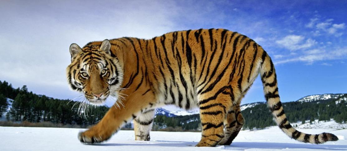 serbian tiger
