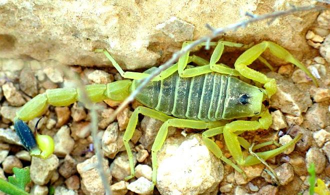 Deathstalker-scorpion-deadly-henspark