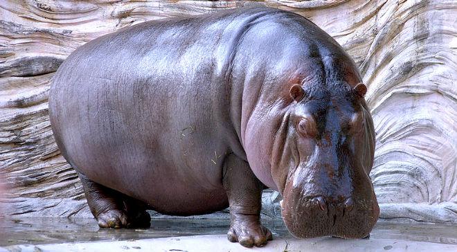 Hippopotamus - henspark