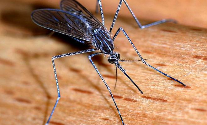 Mosquito-henspark
