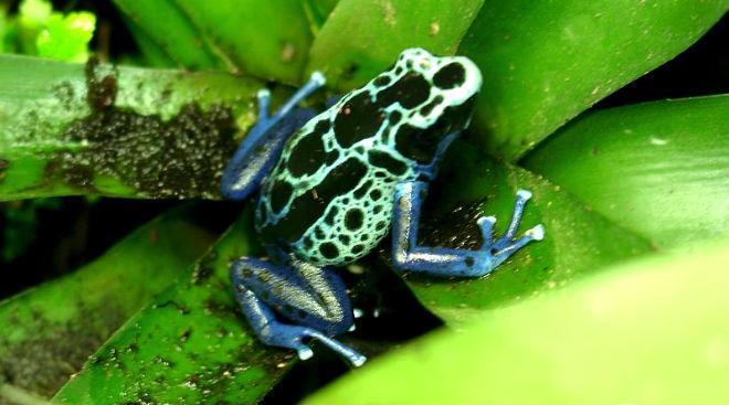 poison dart frog - deadly henspark