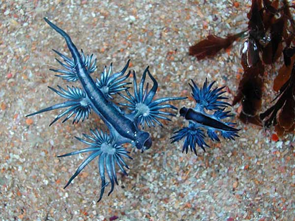 Blue-Dragon-Sea-Slug