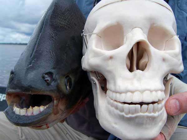 Pacu-Fish