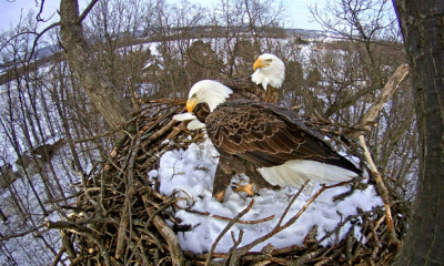 Eagles swap places after egg hatches at Codorus State Park, Hanover, PA