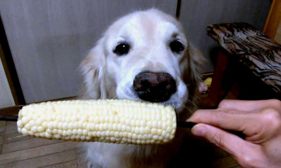 dog eating corn goes viral