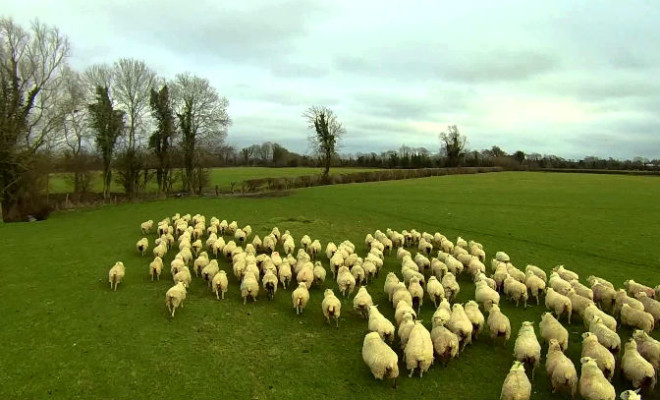 shep the modern sheep herding drone goes viral