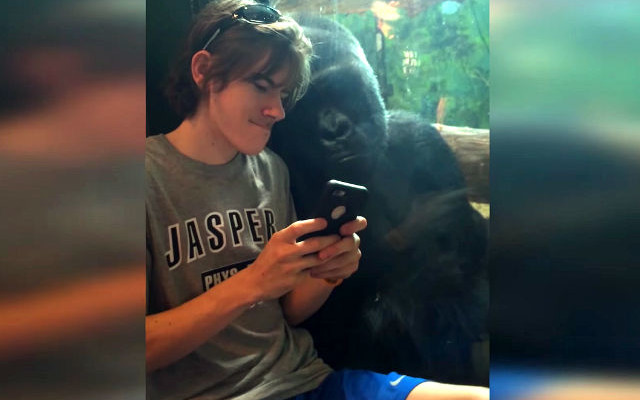 man and gorilla photos on phone viral zoo