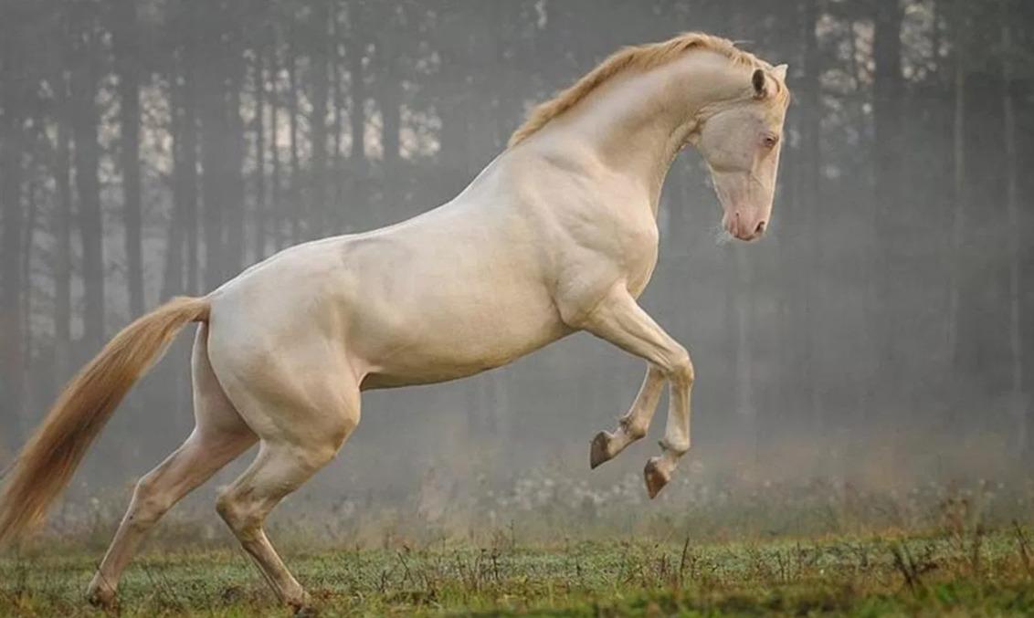 Akhal-Teke - rare horse breed