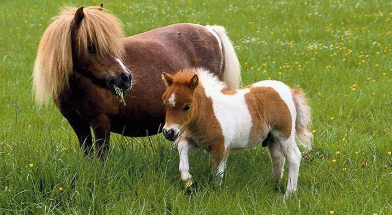 Falabella - rare horse breed