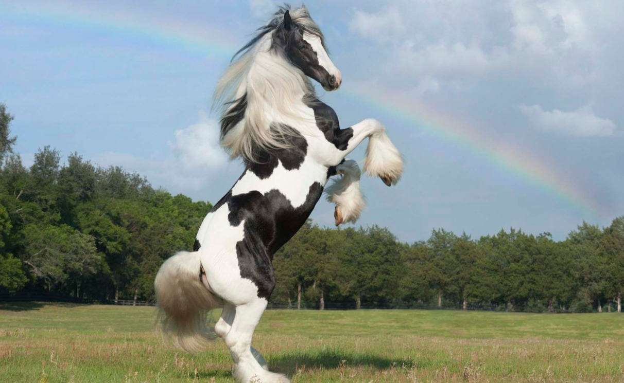 Gypsy Vanner - rare horse breed