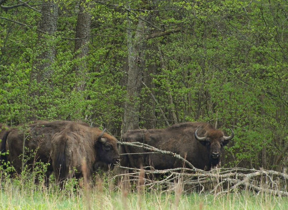 Bialowieza-Forest - Must see Places in Poland - Polska