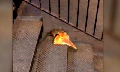 "Viral Video: Master Splinter, Is That You? ""Pizza Rat"" goes viral"