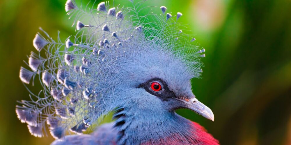 most beautiful doves and pigeons in the world